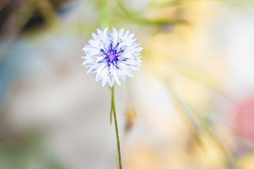 Flower, Cornflower, Bokeh, Hay, White, Summer