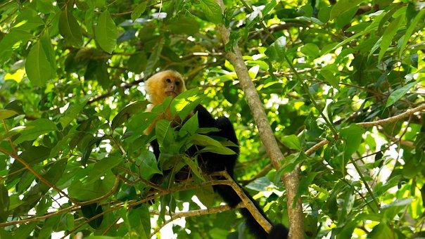 Capuchin Monkey, Costa Rica, Manuel Antonio