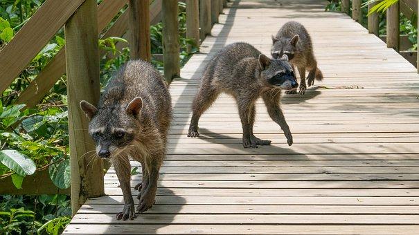 Raccoons, Costa Rica, National Park, Manuel Antonio