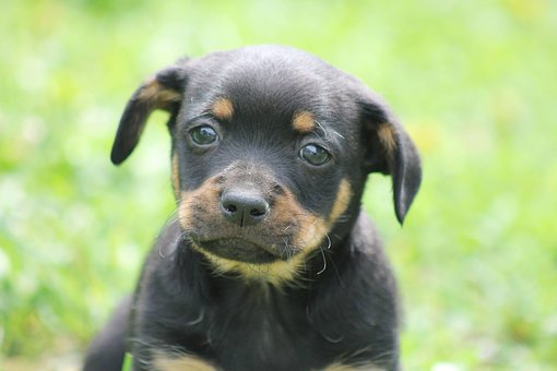 Dog, Mixture Dog, Dachshund