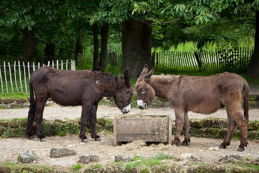 Donkey, Two, Beast Of Burden, Mane, Fur, Dog Eared