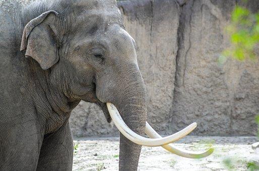 Elephant, Zoo, Wild, Nature, Wildlife, Mammal, Safari