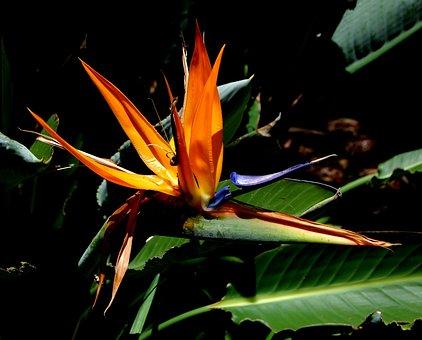 Flower, Bird Of Paradise, Exotic Flowers