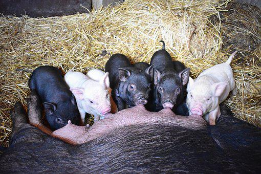 Piglets, Feeding, Barn, Farmhouse, Animal, Cub