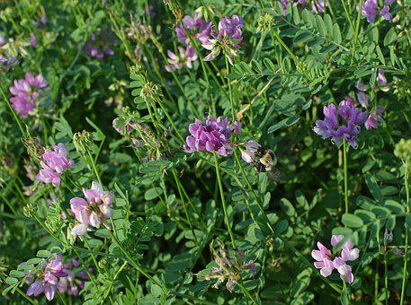 Crown Vetch With Bee, Flower, Blossom, Bloom, Meadow