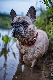 Gerda, French Bulldog, Dog, Fish, Nature, Animal