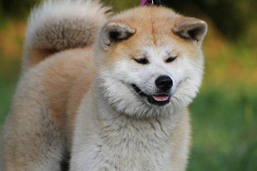 Akita, Akita Inu, Japanese Akita, Dog, Red Dog