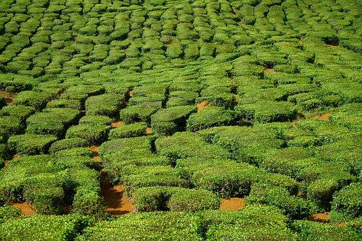 Tea, Field, Tiny Tree, Nature, Leaves, Landscape