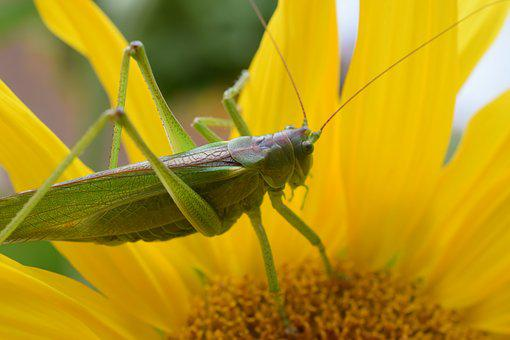 Macro, Nature, Grasshopper, Insect, Green, Caelifera
