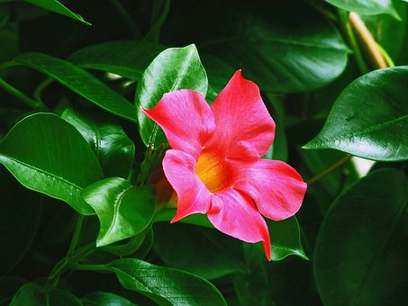 Flowers, Mandevilla, Horticulture, Pink Flower