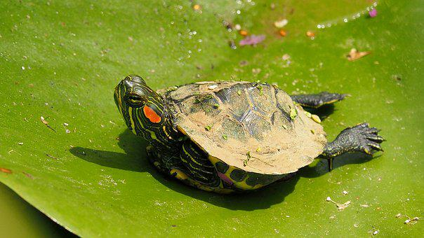 Nature, Turtle, Water Lily, Close Up