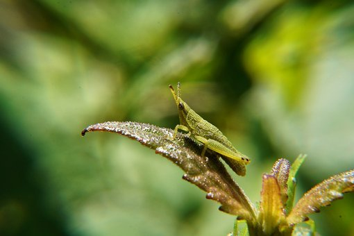 Nymphs, Grasshopper, Insects, Leaves, Green, Garden
