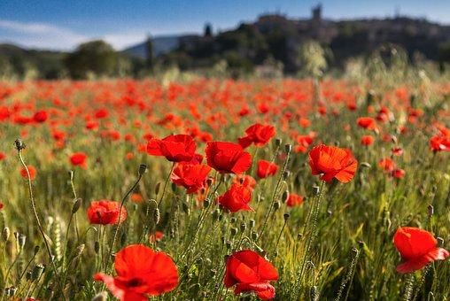 Poppies, Vervier, Rhône
