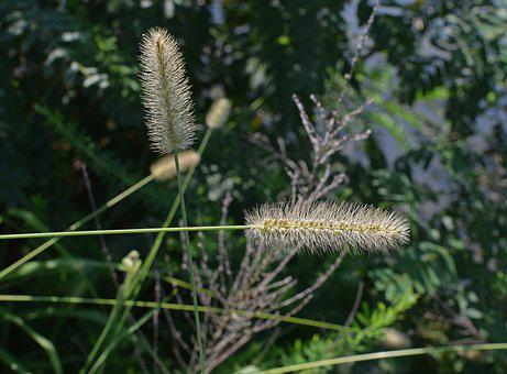 Squirrel-tailed Grass, Grass, Plant, Monocot, Seed