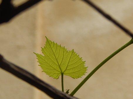 Leaf, Fig Leaf, Green Leaf, Vine