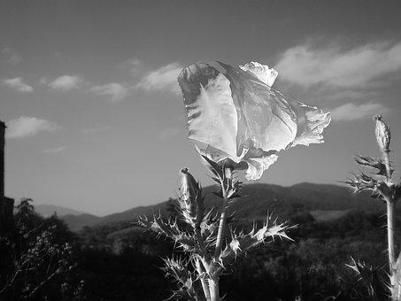 Black And White, Flower, Wild Poppy, Photoshop