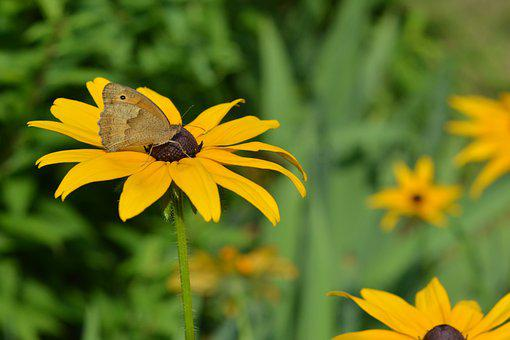Butterfly, Rudbekia, Rudbekie, Flowers, Yellow