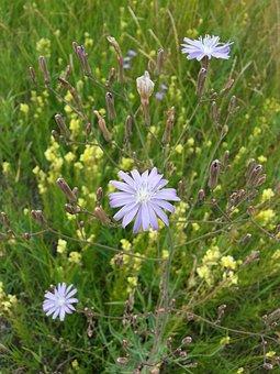 Flowers, Chicory, Purple, Yellow, Stalks, Grass, Macro