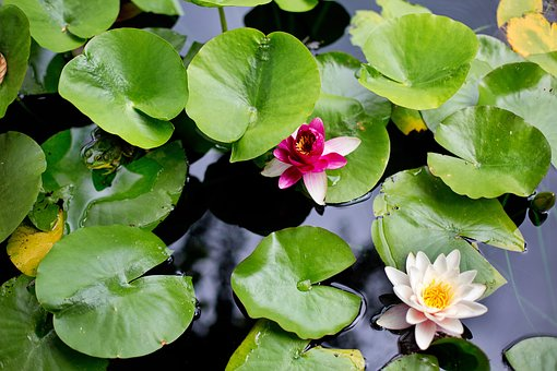 Water Lilies, Lilies, Lily Pads, Frog, Pink, Yellow