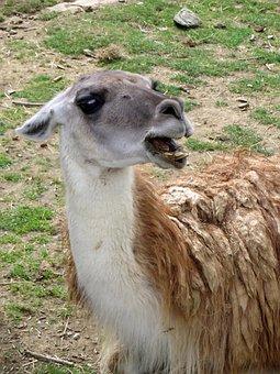Lama, Camelid, Anger, Lama Glama, Animal