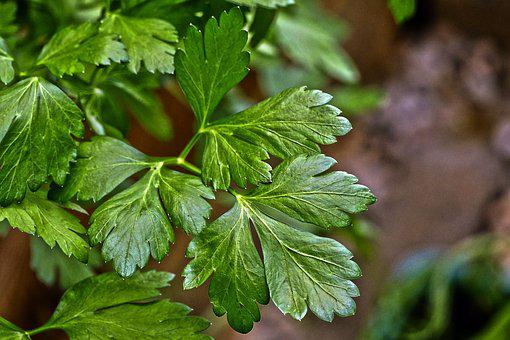 Parsley, Green Soup, Culinary Herbs