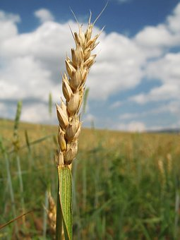Rye, Wheat, Harvest, Agriculture, Field, Spikes, Farm