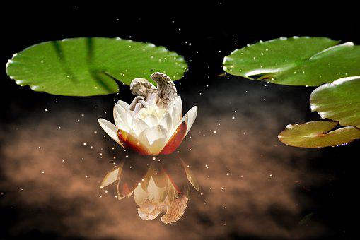 Angel, Water Lily, White, Aquatic Plant, Flower