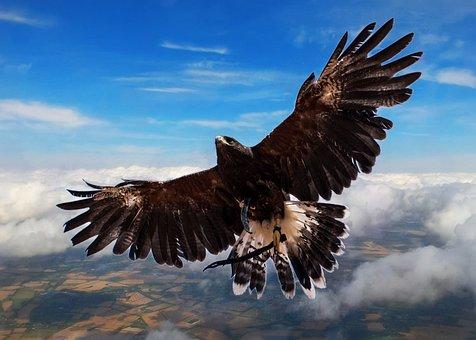 Harris Hawk, Bird, Clouds, Flying High, High Flyer