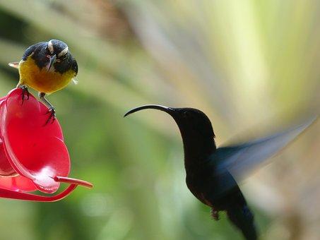 Hummingbird, Bird, Bird Fly, Veranda, Martinique