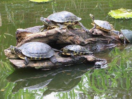 Turtle, Florida Turtle, Aquatic, Malaria