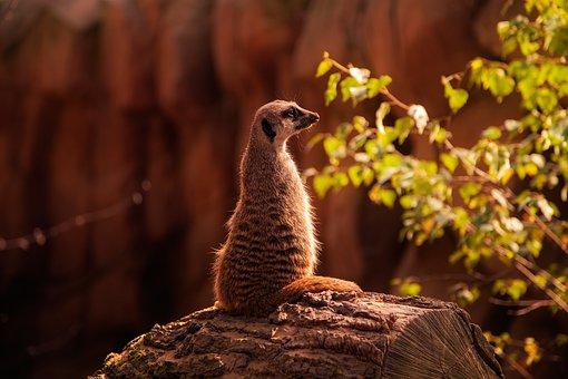 Meerkat, Tree Trunk, Nature