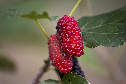 Mulberry, Amora Red, Nature, Garden, Fruit, Food, Red