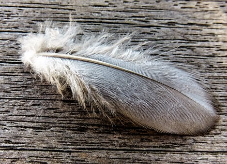 Feather, Bird Feather, Pigeon Spring, Quill