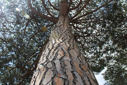 Pine, Tree, Ostia, Natural, Pine Tree