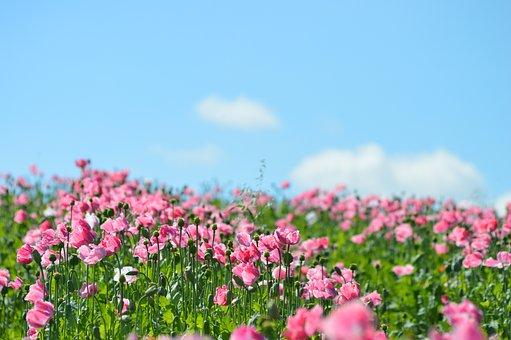 Poppy, Opium Poppy, Poppy Flower, Pink, Germerode