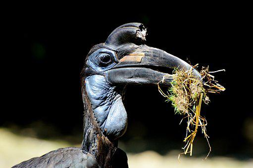 Ground-hornbill, Raven, Hornbill, Bucorvus, Bird, Bill