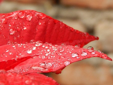 Red Petals, Red Flower, Star Federal, Rain, Drops
