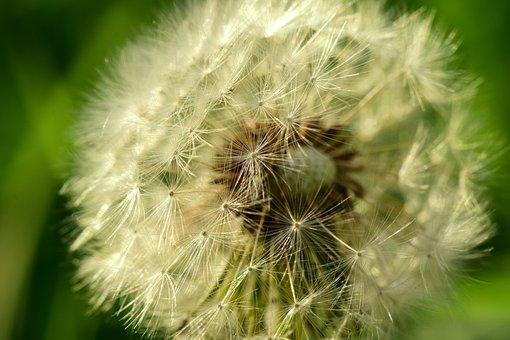 Dandelion, Close, Seeds, Wild Flower, Pointed Flower