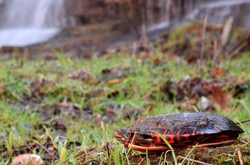 Turtle, Water, Reptile, Nature, Animal, Aquatic, Life