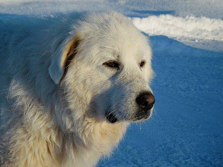 Great Pyrenees, Dog, Canine, Fur, Furry, White, Snow