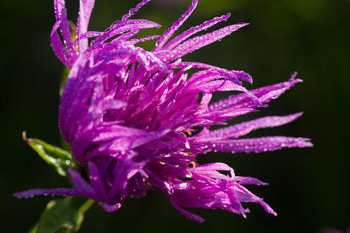 Thistle, Thistle Flower, Burdock, Flower, Nature, Wild