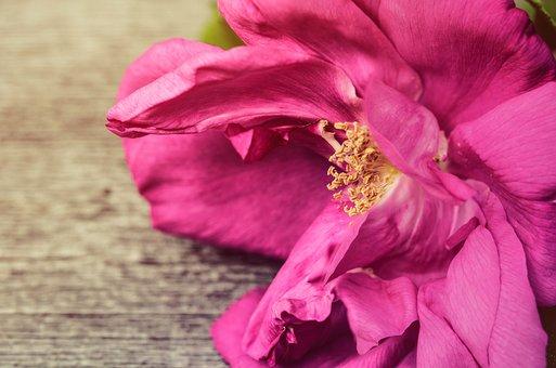 Rose, Petals, Pink, Background, Backdrop, Wooden, Wood