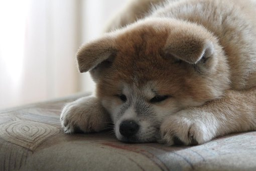 Akita, Akita Inu, Puppy, Japanese Akita, Red Dog, Dog