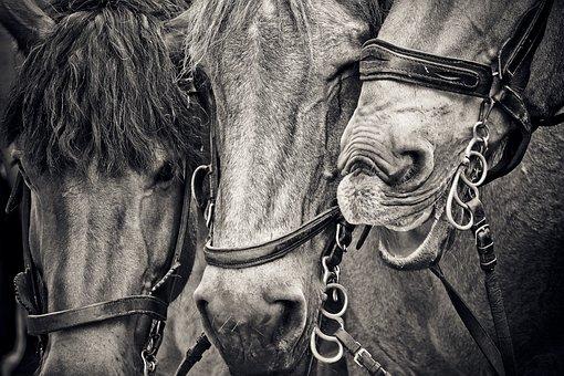 Horses, Horse Heads, Animals, Pferdeportrait, Nature