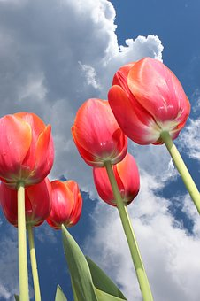 Tulips, Sky, Clouds, Below, Dramatic Sky, Plant