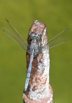 Blue Dragonfly, Raft, Orthetrum Coerulescens