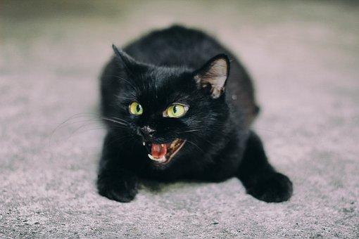 Cat, Black, Black Cat, Animal, Feline, Pet, Persian