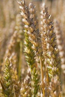 Wheat, Crop, Agriculture, Harvest, Field, Plant, Grain
