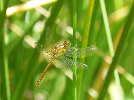 Dragonfly Amrilla, Stem, Wetland, Green Parot