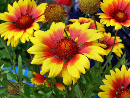 Summer Flowers, Mädchenauge, Enlarge View, Shrub
